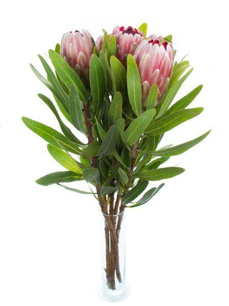 ber ideen zu exotische blumen auf pinterest fleischfressende pflanzen orchideen und. Black Bedroom Furniture Sets. Home Design Ideas