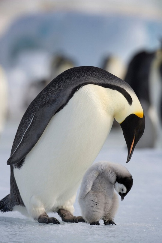Look closely (Emperor Penguin and Chick, Antarctica)