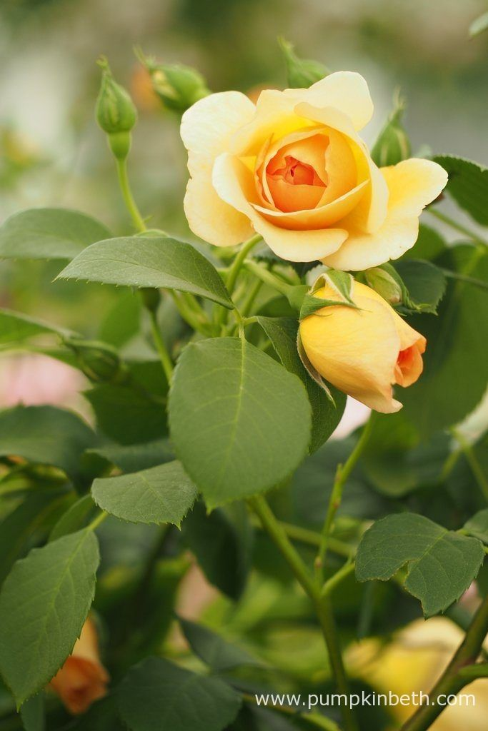 Rosa 'Dame Judi Dench' is an English Musk Hybrid Rose, bred by David Austin and named in honour of one of Britain's favourite actresses, Dame Judi Dench.