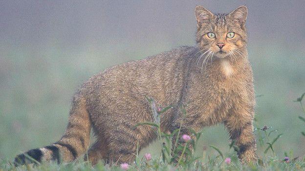 Дикая лесная кошка (Felis silvestris) во Франции