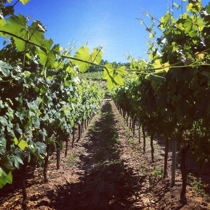 """Durante el verano, nos abrimos paso entre las hileras de viñedos del Ribeiro. Es el tiempo de control y preparación de la viña, el momento previo a la vendimia. Foto en los viñedos de """"Adega #ManuelFormigo"""", #FincaTeira.  #wines, #wine, #vinos, #vino, #spanishwines, #ribeirowines, #doribeiro, #ribeiro, #eslomejor, #esenciagalega, #galicia, #ourense, #orense, #winelovers, #instavino, #instawine, #winestagram, #winelife, #vinoribeiro, #ribeirowine, #descobregalicia, #descubreribeiro, #viñedos…"""