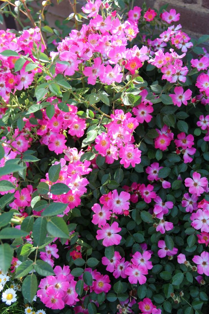 beautiful-single-pink-roses