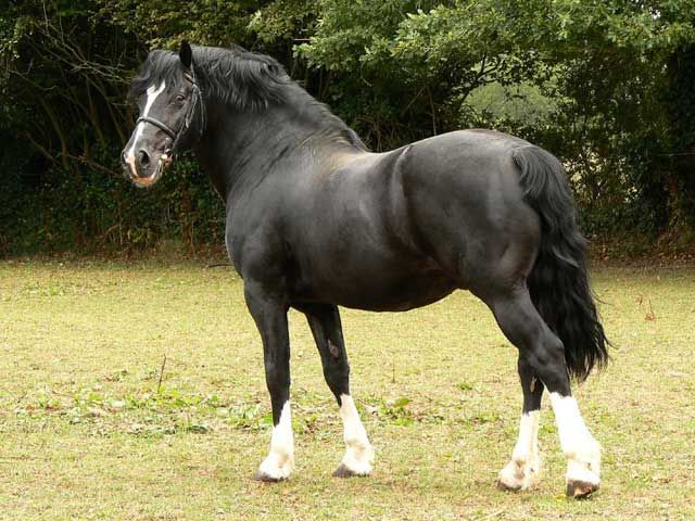 Welsh Pony horse breed