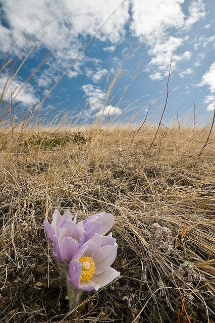 ~Prairie Crocus. we always went to crocus hill first thing in the spring.