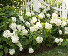 If you love hydrangeas, find out how to grow more beautiful blooms! Hydrangeas love water, but be careful about applying fertilizer (be sure it's not too much, and that it is applied at the right time). To successfully grow hydrangea flowers, though, you need to know about your specific variety, so read our tips and tricks for caring for each type of hydrangea. Before long, your garden will be filled with lots of lovely hydrangea flowers.
