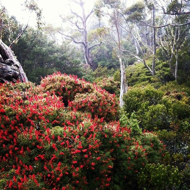 It's beginning to look a lot like Christmas at Mt Field National Park. #wildflowers #mountains #mtfield #nationalpark #tasmania #discovertasmania Image Credit: Pete Harmsen