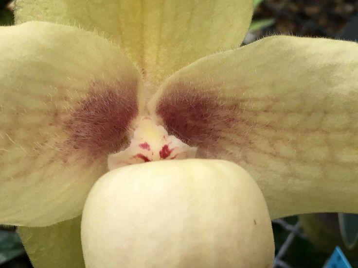 Ботанический сад | Аптекарский огород | ВКонтакте  12 авг в 15:56 Действия Редкий Венерин башмачок - уже в витрине с ценными орхидеями в тропиках #Аптекарскийогород!🌺🌺🌺 #Пафиопедилум Хэнга (#Paphiopedilum hangianum) родом из окрестностей Китая и с северных окраин Вьетнама был открыт совсем недавно - в 1999 году. Цветок очень крупный и обладает тончайшим, едва уловимым, сладковатым ароматом🙈 Напоминаем, что у нас собрана одна из самых больших в России коллекций видовых орхидей✌ Ждем вас…
