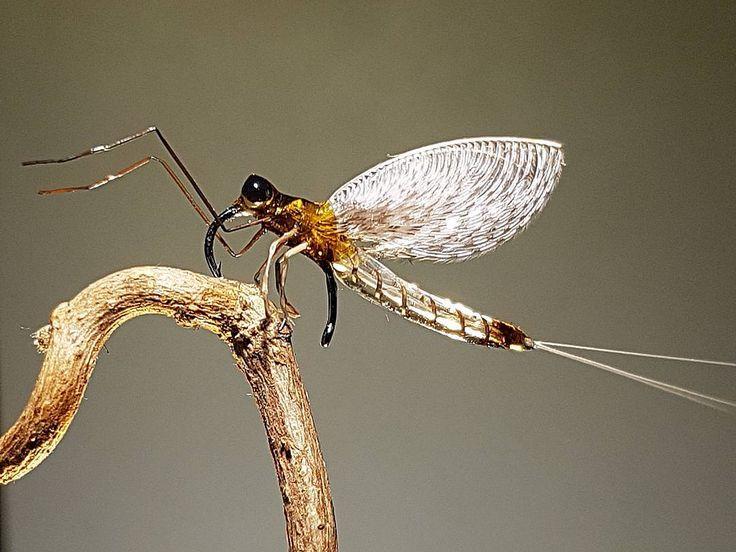 Just another freak from my vise. Happy holidays 😊 #teamgäddracer #dryfly #flytying #flytyingaddict #deercreekuvresin #dryordie #torrfluga #torrflue #deercreek #deercreekflies #flykipedia #deercreekproteam #mayfly #dagslända #tmc212y #tiemco #fluebinding #flugbindning #fluga #flugfiske #flytyingvise