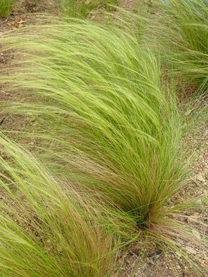 Mexican feathergrass very drought tolerant part sun sun for Tall ornamental grasses for sun