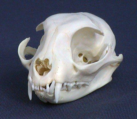 Domestic Cat Skull Cráneo de gato doméstico