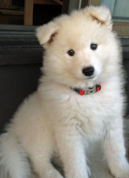 Hudson the Samoyed puppy - a real beauty