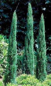 Cupressus semp 'Tiny Tower'  Ital. Cypress