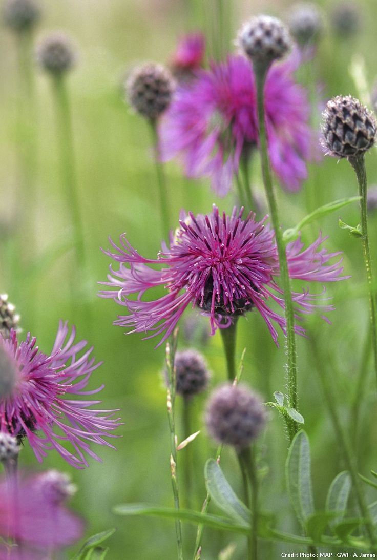 Les 25 meilleures idees de la categorie fleurs sauvages for Ou acheter le tapis champ de fleurs