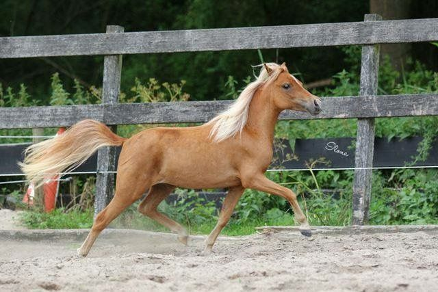 FB: SSF A Gift of Joy to Remember  American Miniature Horse filly trot equine dressage mare caballo pferd AMH amha