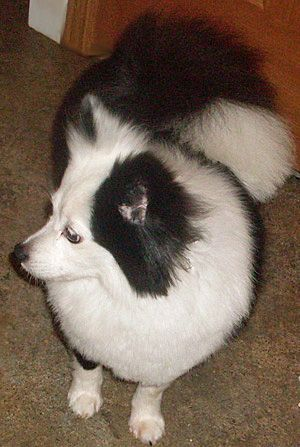 My name is  am a 12 lb, 8 yr old, black and white Pomeranian girl.