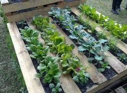 This is awesome! i will try this when growing lettuce and cabbages!