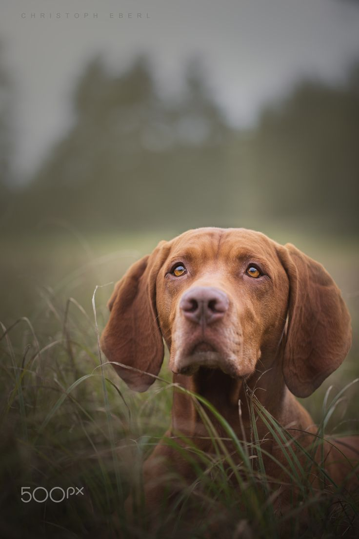263 best vizslas images on pinterest doggies dogs and hungarian best friend by christoph eberl on 500px nvjuhfo Images