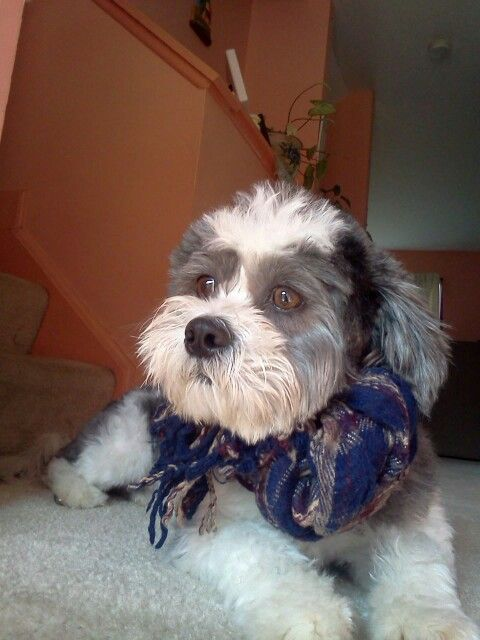 10 Images About Husky Mx Shih Tzu On Pinterest For Dogs