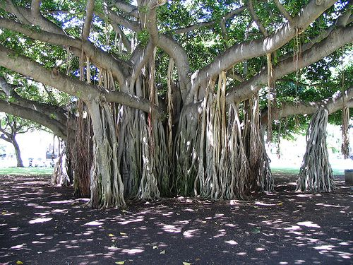 The banyan tree... roots from every branch curl around the trunk, which eventually dies but the tree lives on because of its roots in many places
