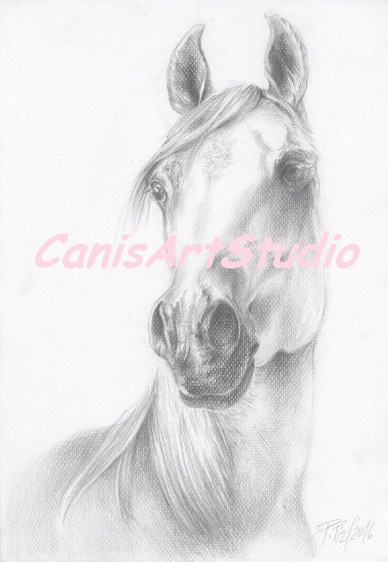 BEAUTIFUL ARABIAN HORSE head Original pencil by CanisArtStudio