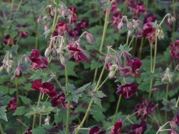Brunnäva, Geranium phaeum, utvecklas fint till och med där det är skuggigt och torrt. Sorten 'Samobor' har särskilt vackert bladverk.