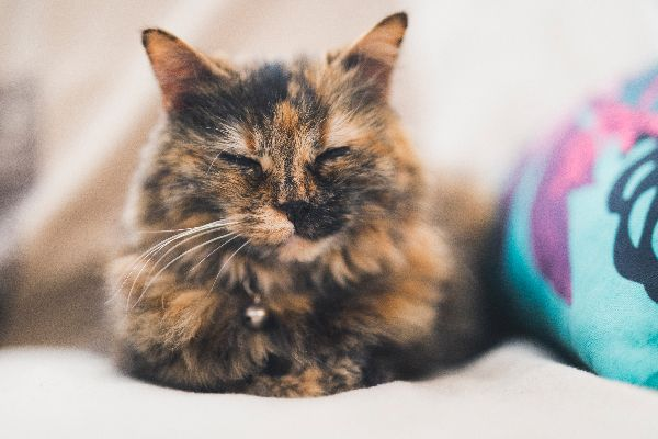 Are Most Tortoiseshell Cats Truly Female And Where Did The Name Tortoiseshell Come Fro Tortoiseshell Cat Personality Calico Cat Personality Tortoise Shell Cat