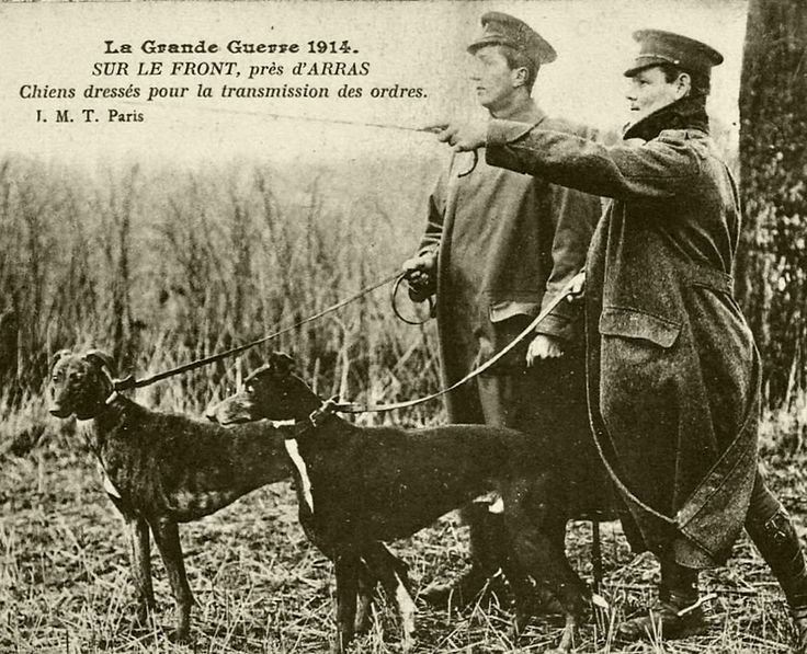 WWI, 1914, Arras. Soldiers with messenger dogs