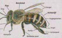 Schoolkrant van de Nederlandse Bijenhouders Vereniging over wilde bijen en honingbijen.
