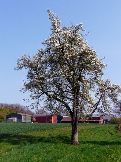 Ideal plum tree how to prune