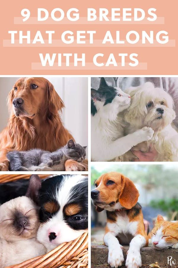 9 Dog Breeds That Get Along Purr Fectly With Cats Family Dogs