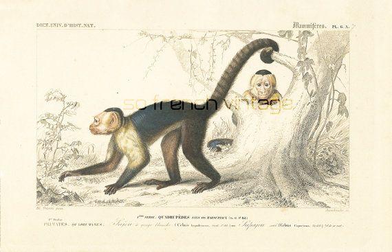 1861 Singes Sajou gravure ancienne Orbigny Original Qualité Exceptionnelle Histoire Naturelle Lithographie peinte à la main Singes Capucins