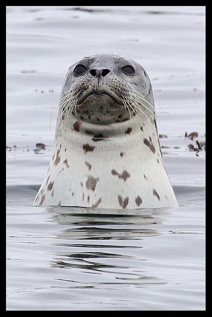 A wide ranging Selkie - Harbor seals are a true seal found along temperate and Arctic marine coastlines of the Northern Hemisphere. The most widely distributed species of pinniped (walruses, eared seals, and true seals), they are found in coastal waters of the northern Atlantic and Pacific oceans, the Baltic and North Seas.