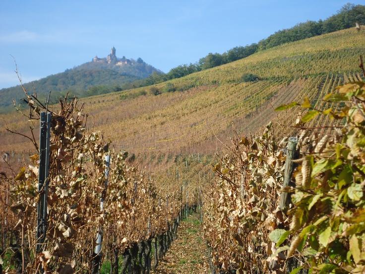Alsace vineyards-haut koenigsbourg
