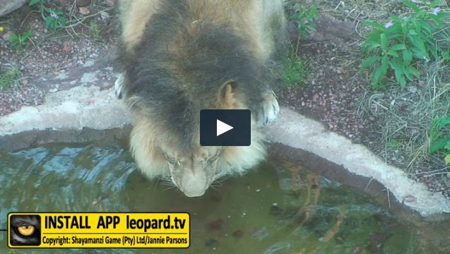 Lions are independent of water but will drink water every day when it is available, especially following feeding. Watch the video of the Shayamanzi lions enjoying the water...