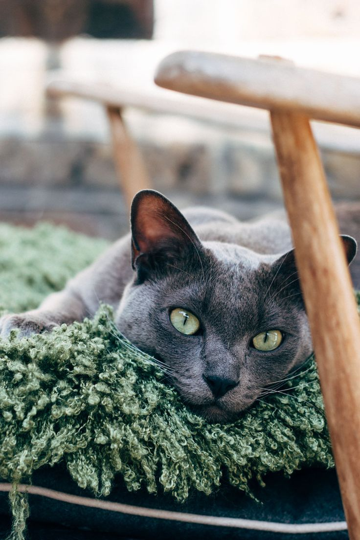 136 best Burmese and other Cats images on Pinterest