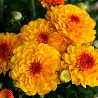 Chrysanthemum Indicum 'Bienchen'