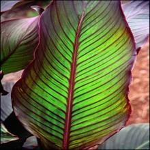 For more information about Canna indica 'Red Stripe'