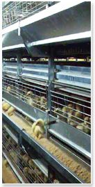 Dynamic Automation is a well-known manufacturer and supplier of chicken farming in South Africa. We deliver world class service and quality products to fulfill all your poultry equipment needs. For more information, contact at:27 (31) 736-2071.