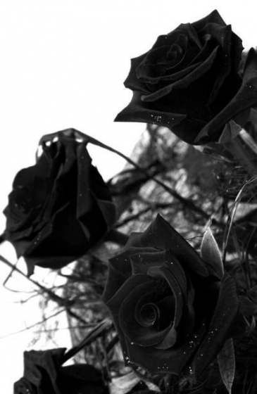 You can also upload and share your favorite black aesthetic desktop wallpapers. Wall Paper Rose E Preto 31 Ideas For 2019 | Black and ...