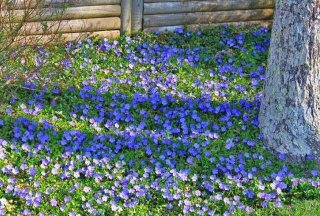 Eggeth Home Reference Periwinkle Ground Cover Shade