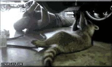 The 18 Most Important Raccoon-Related GIFs On The Internet