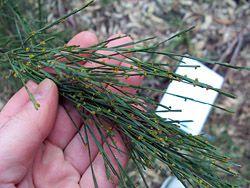 Bush Tucker Plant Foods - Exocarpus - Native Cherry