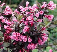 Risultati immagini per weigela florida foliis purpureis