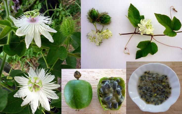 Carnivorous Passionfruit Passiflora Foetida Seeds