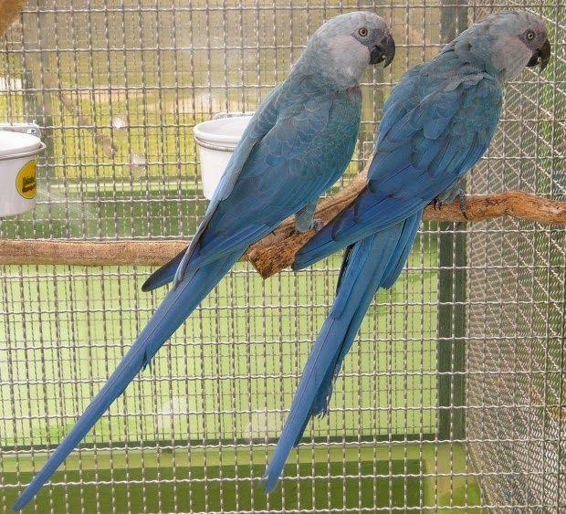 BioOrbis: Ararinha-azul: espécie extinta na natureza pode vo...