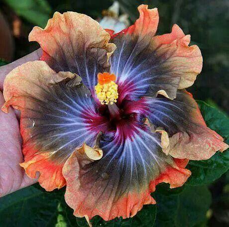 Rare Hibiscus hybrid.