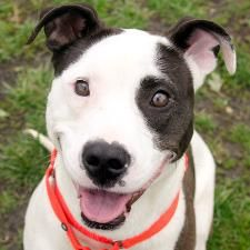 Maple is an adoptable Terrier Dog in Des Moines, IA. Currently located at ARL Main Maple is a real 3 year old sweetheart who loves neck rubs, chest rubs and sitting right up against you so she can giv...