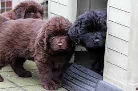 Afbeeldingsresultaat voor newfoundlander pups bruin