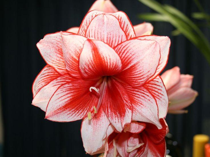Ce qui est agréable dans cette fleur, c'est que les couleurs sont tellement différentes. Bel Amaryllis