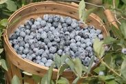 Blueberry Hill Farms. Blueberries and blackberries. Edom, Texas